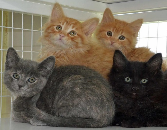 Roice-Hurst Kittens