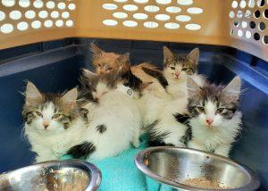 Roice-Hurst foster kittens