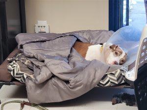 Roice-Hurst foster dog